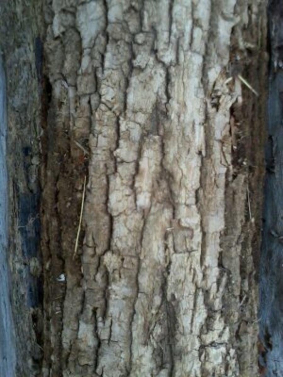 White Ash bark.