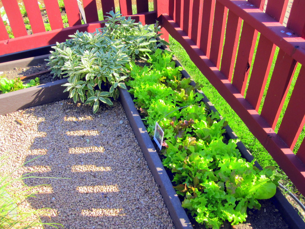 A planting of colorful leaf lettuce makes an attractive border in its own right.