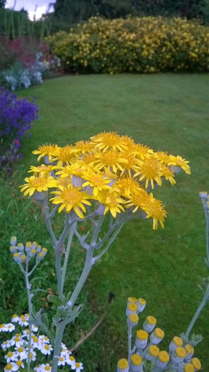 Silver Ragwort (Dusty Miller ). I collected some seed from the seaside and grew them in my garden.