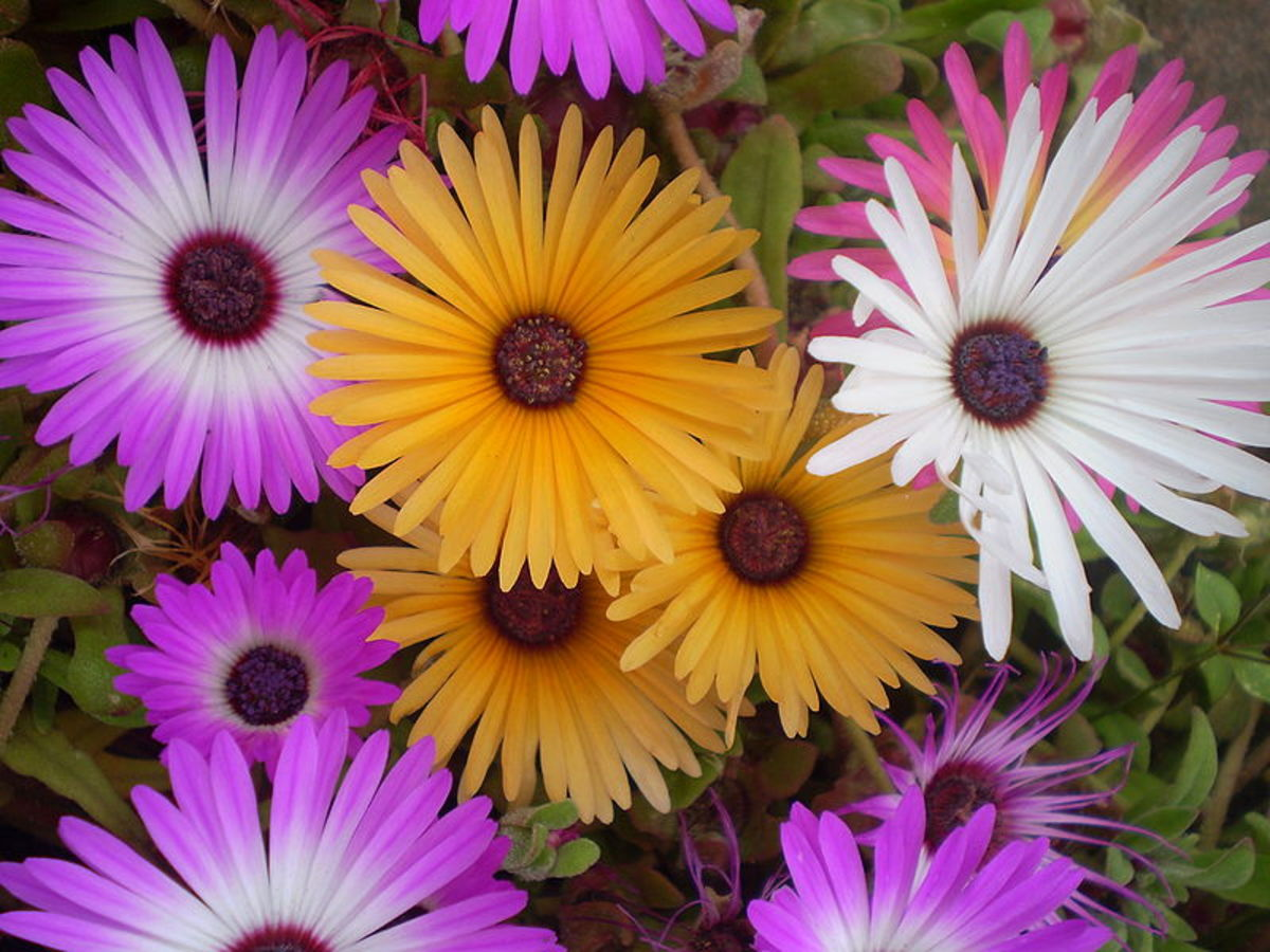 Livingstone Daisy or Mesembryanthemum