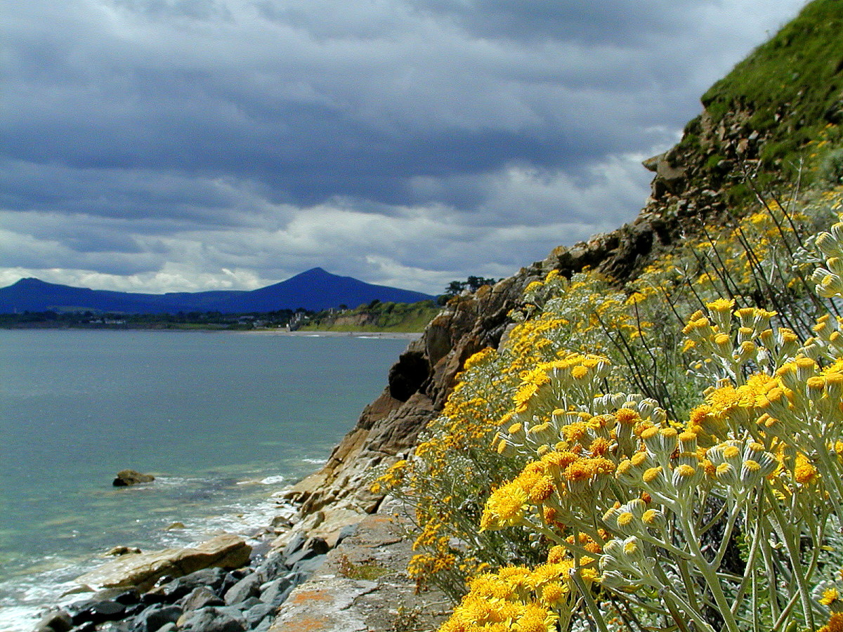 Silver Ragwort on hillside at Killiney Bay in Dublin, Ireland - just down the road from Bono and the Edge's houses
