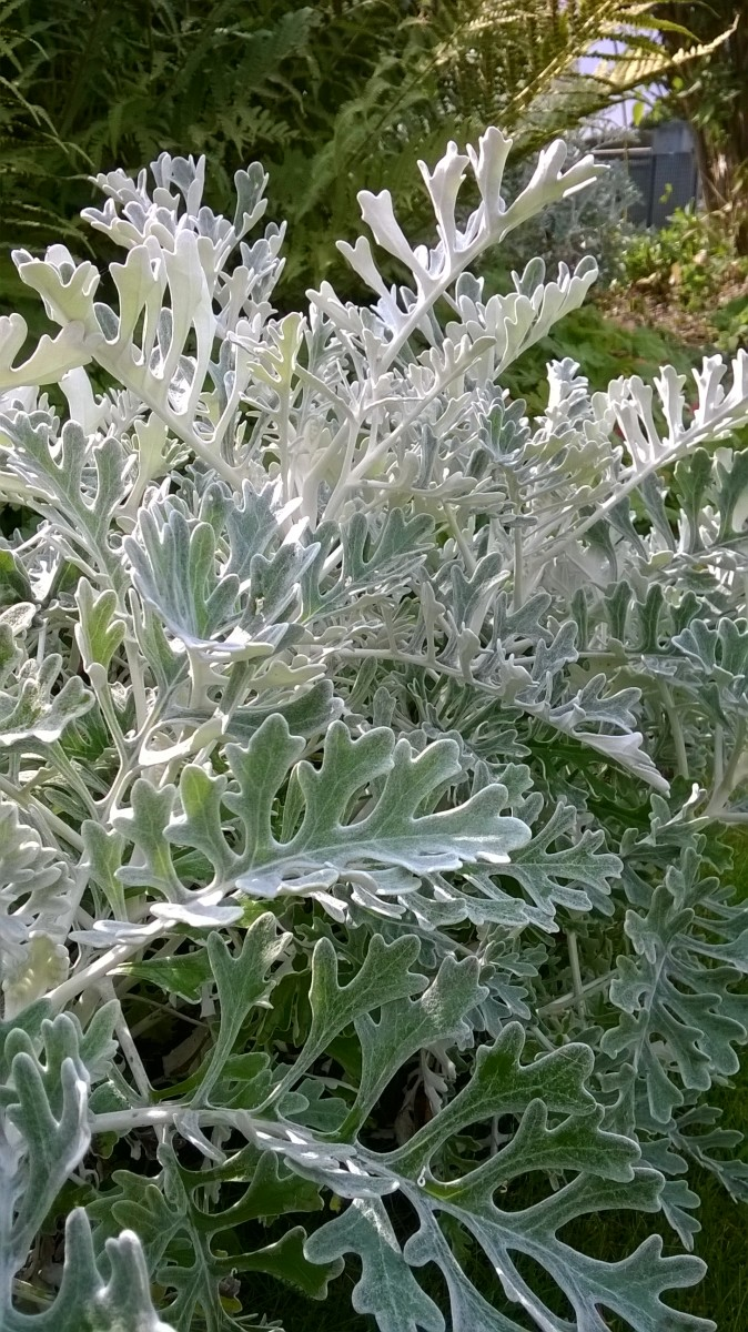 Nice soft, silvery leaves of silver ragwort
