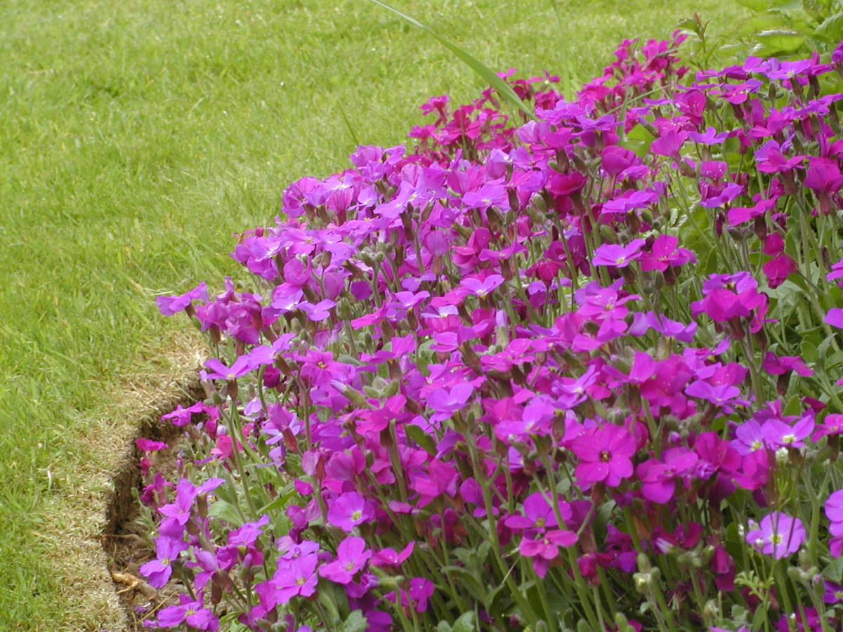 Aubretia for Edging