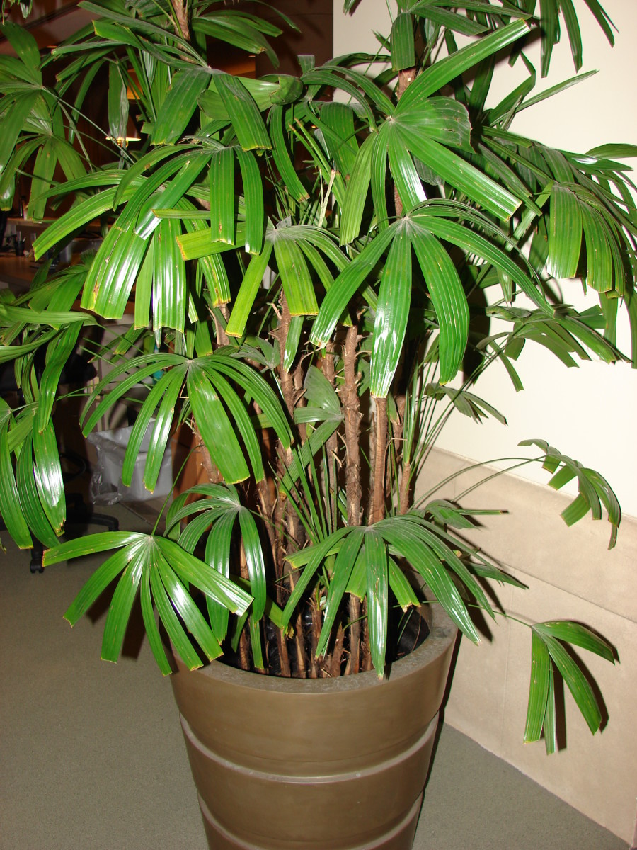 Rhapis palm is one of the most common houseplants associated with overwatering.