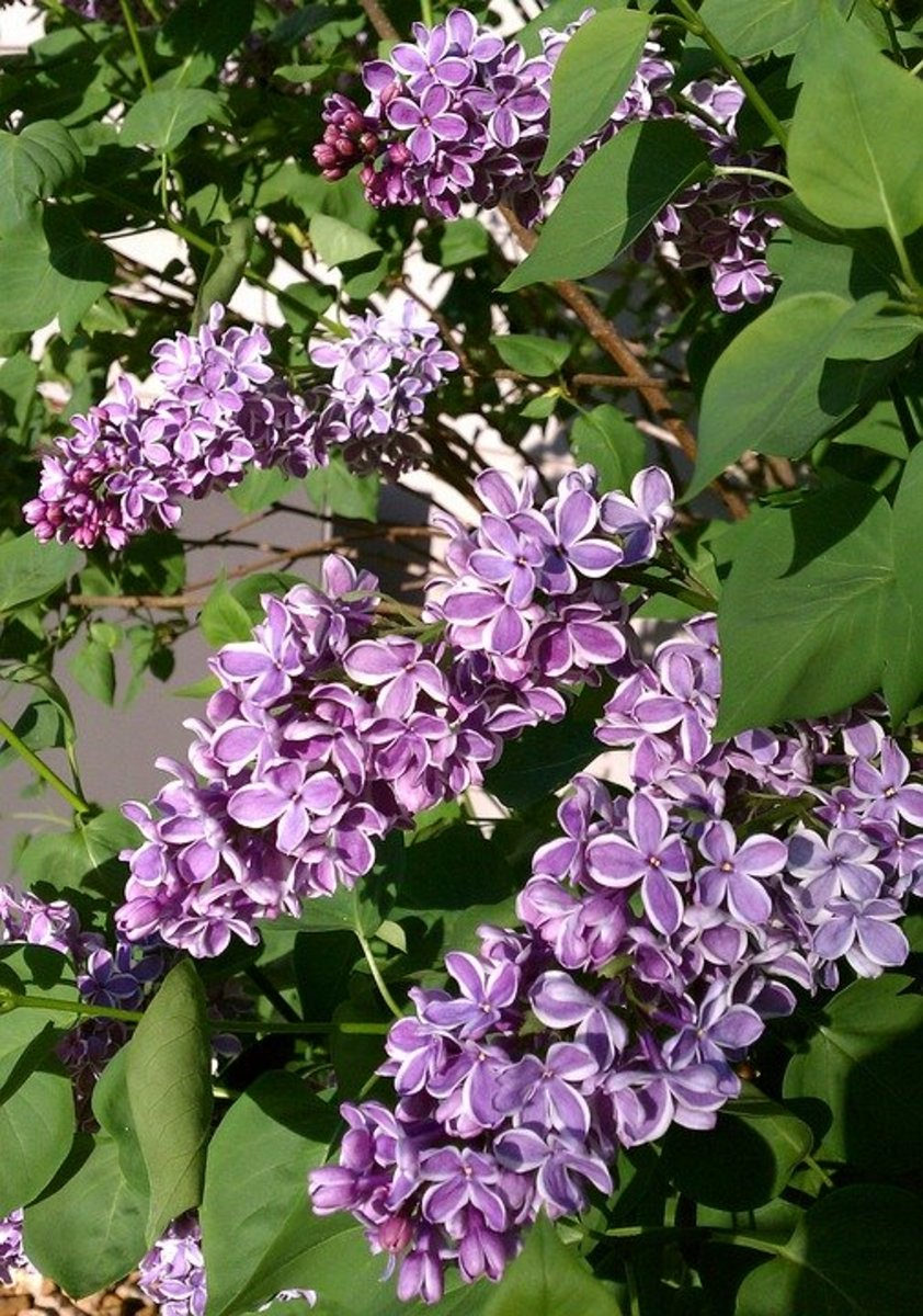 An unusual variegated lilac