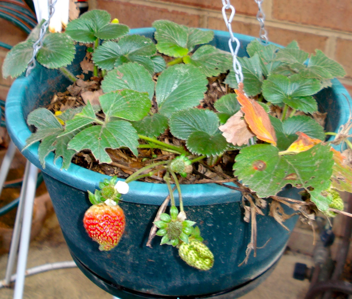 Hanging Baskets of Strawberries