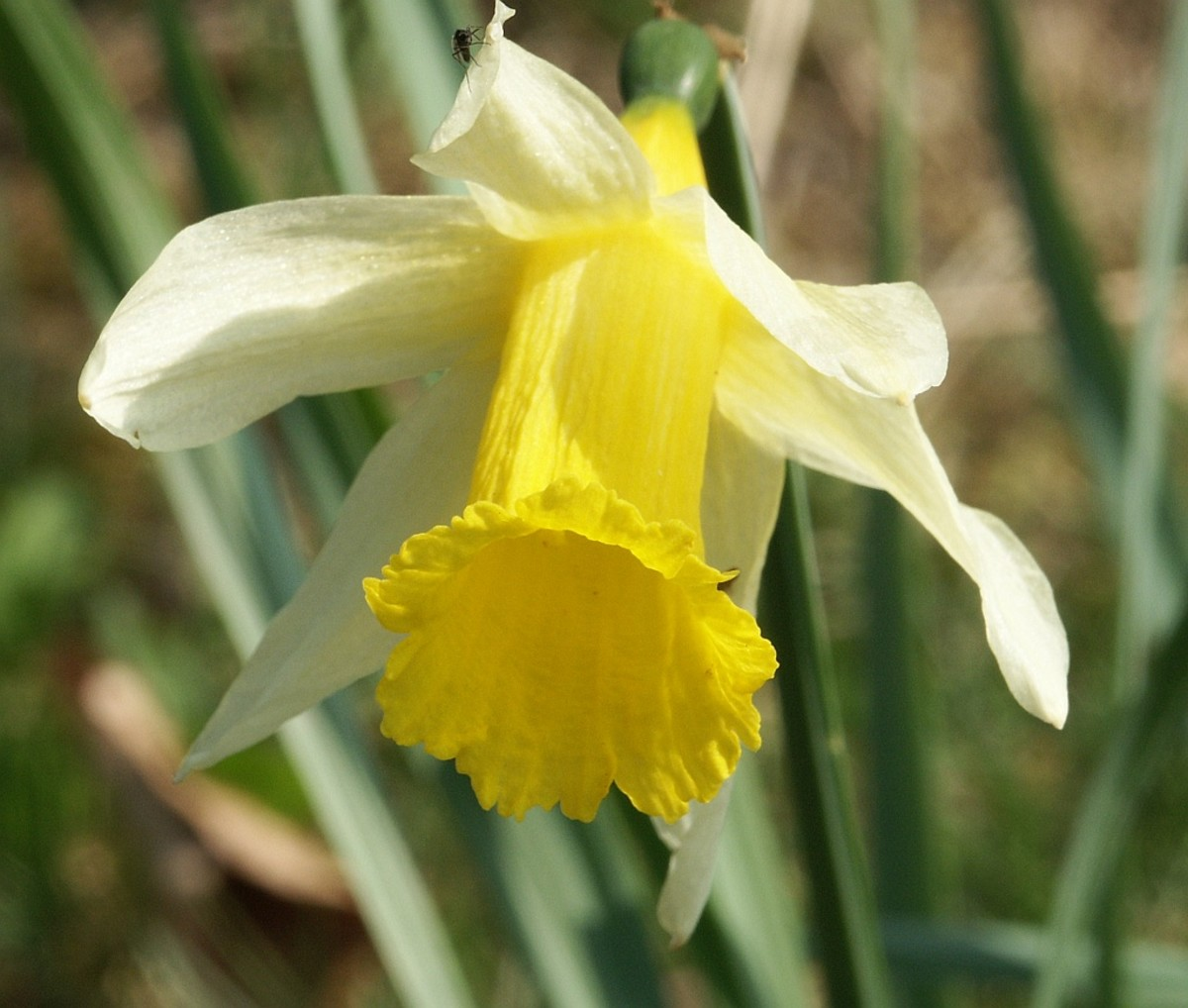 Daffodils are a spring flower. They repel unwanted animals and can protect your other flowers from their untimely demise.