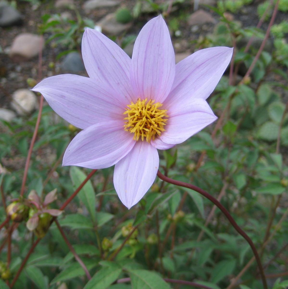 Dahlia is a very beautiful fall flower.