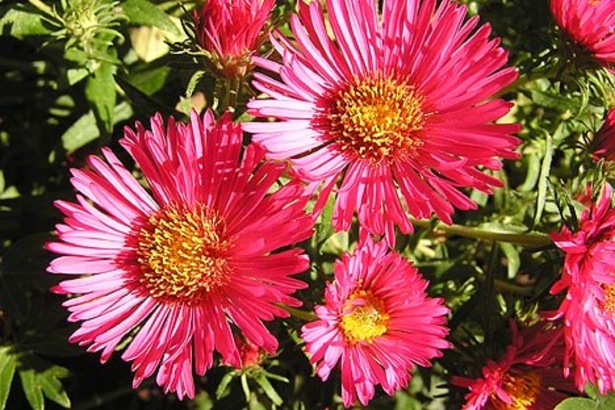 Asters will bloom all year long.