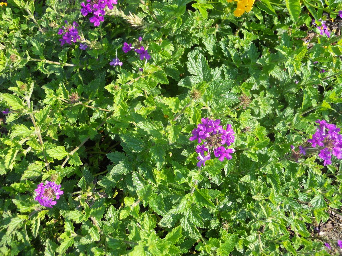 Trailing Homestead Purple Verbena