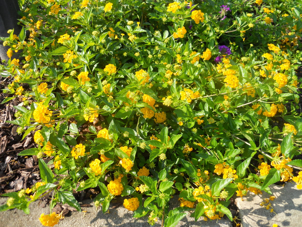 The best heat and drought resistant flowers for your garden dengarden - Heat tolerant plants keeping gardens alive ...