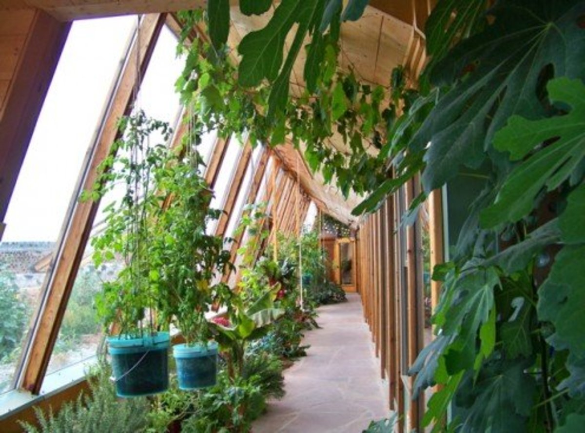 Greywater Filtration Solarium - All plants in this solarium, mostly edible, are fed by water discarded from sinks, showers, and the washing machine. Excess water goes from here to flush toilets, after filtration through the soil.