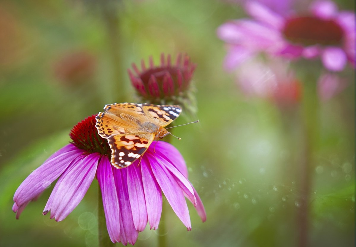 Painted Lady butterfly on a Purple Coneflower