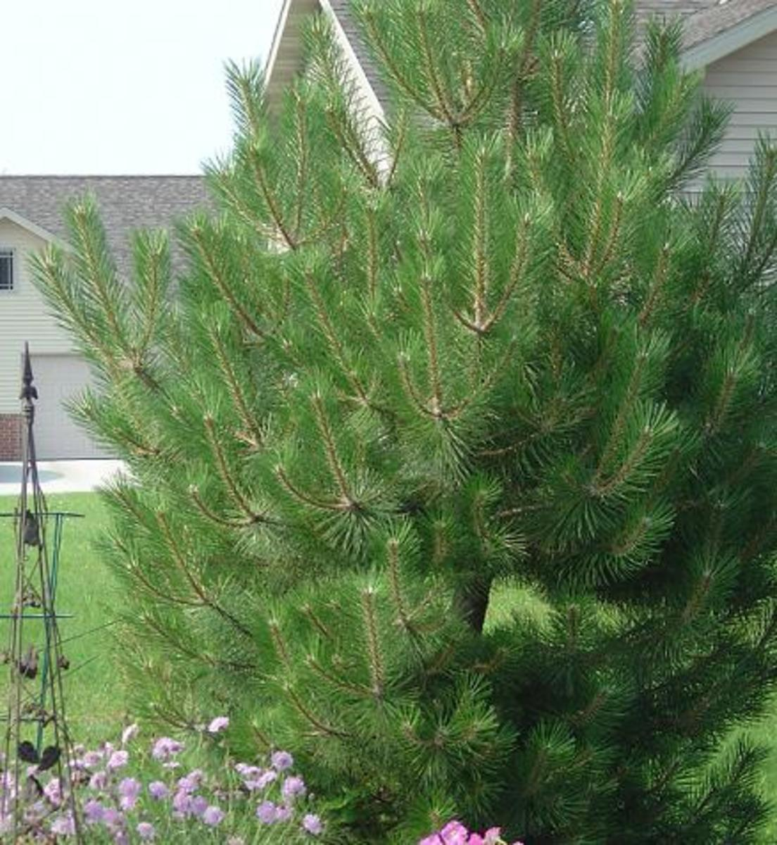 The Best Evergreen Trees for Privacy