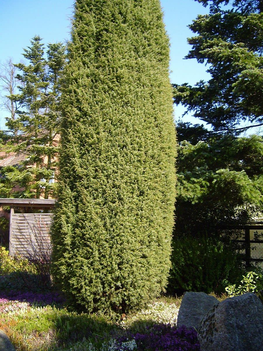 Juniper trees grow tall and require little maintenance.