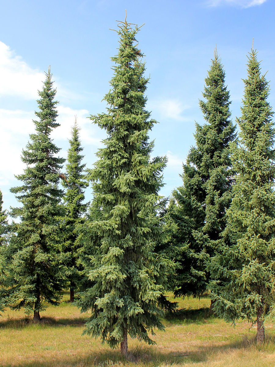 Black spruce trees are one of the best options for privacy screens due to their dense leaves.