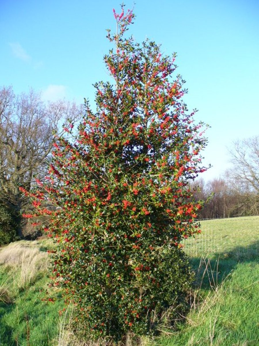 Holly trees are a great option for narrow areas.