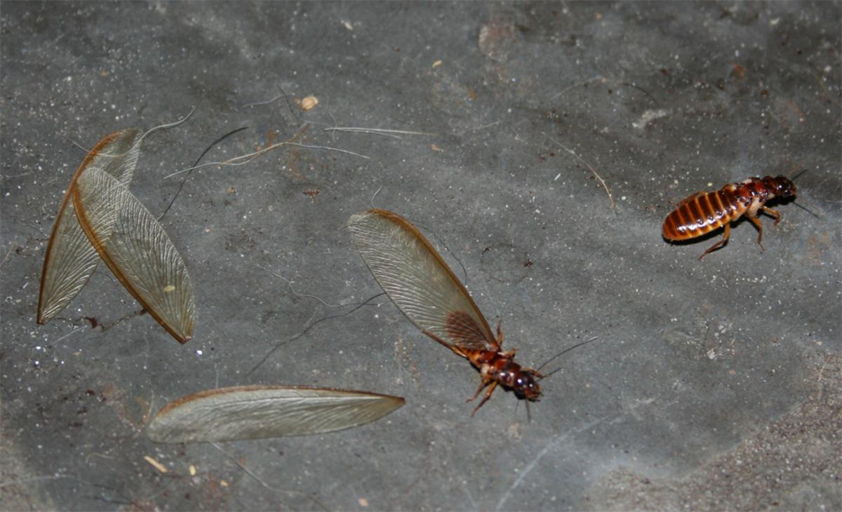 Termite wings