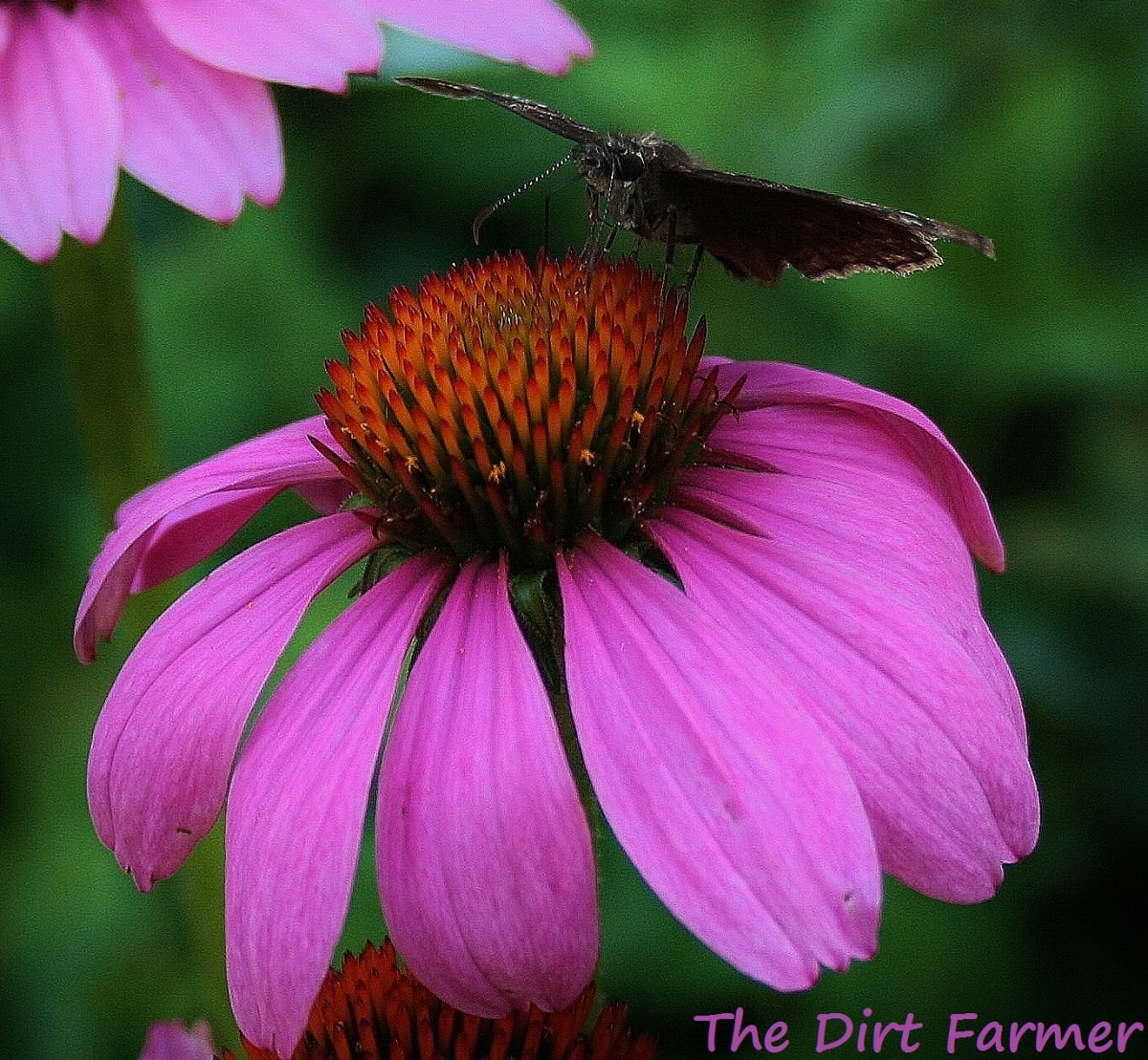 In addition to a red variety of E. purpurea, I grow 2 others, including this drought-resistant variety, 'Prairie Splendor.'