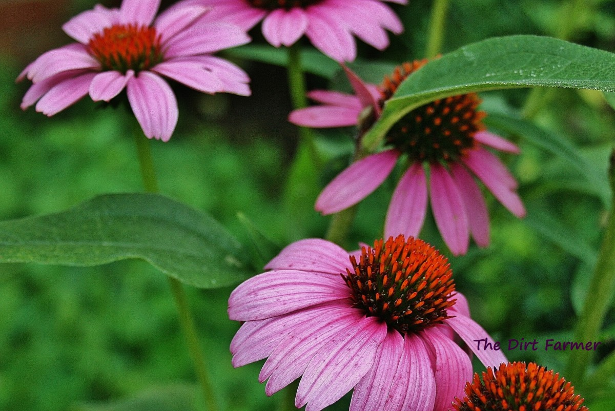The cone at the center of each Echinacea purpurea flower head holds seeds.
