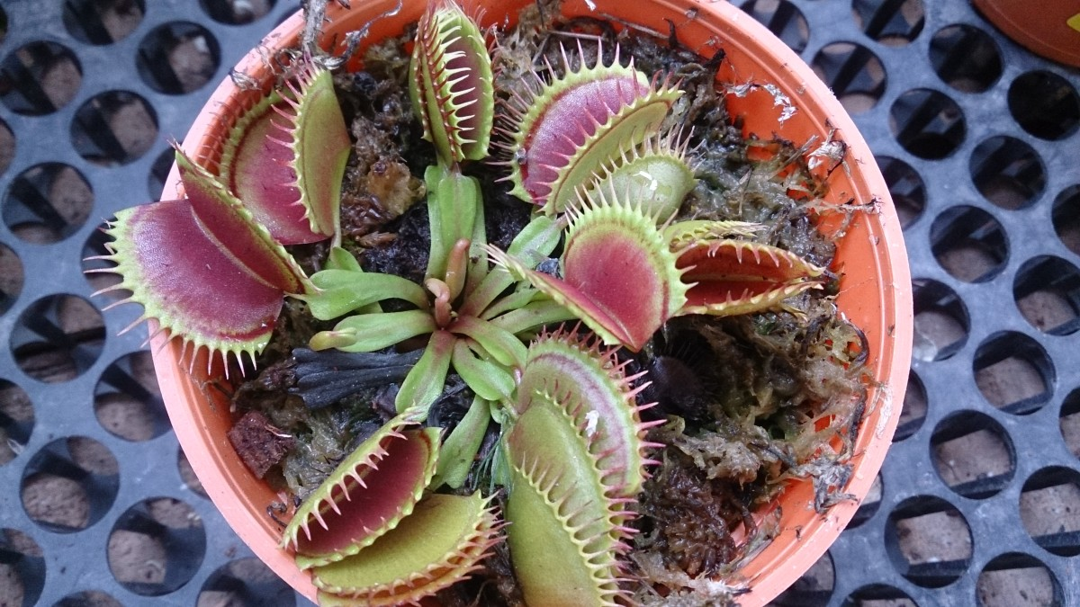 The red bulbous growths in the center of the Venus flytrap will eventually give rise to the flower.