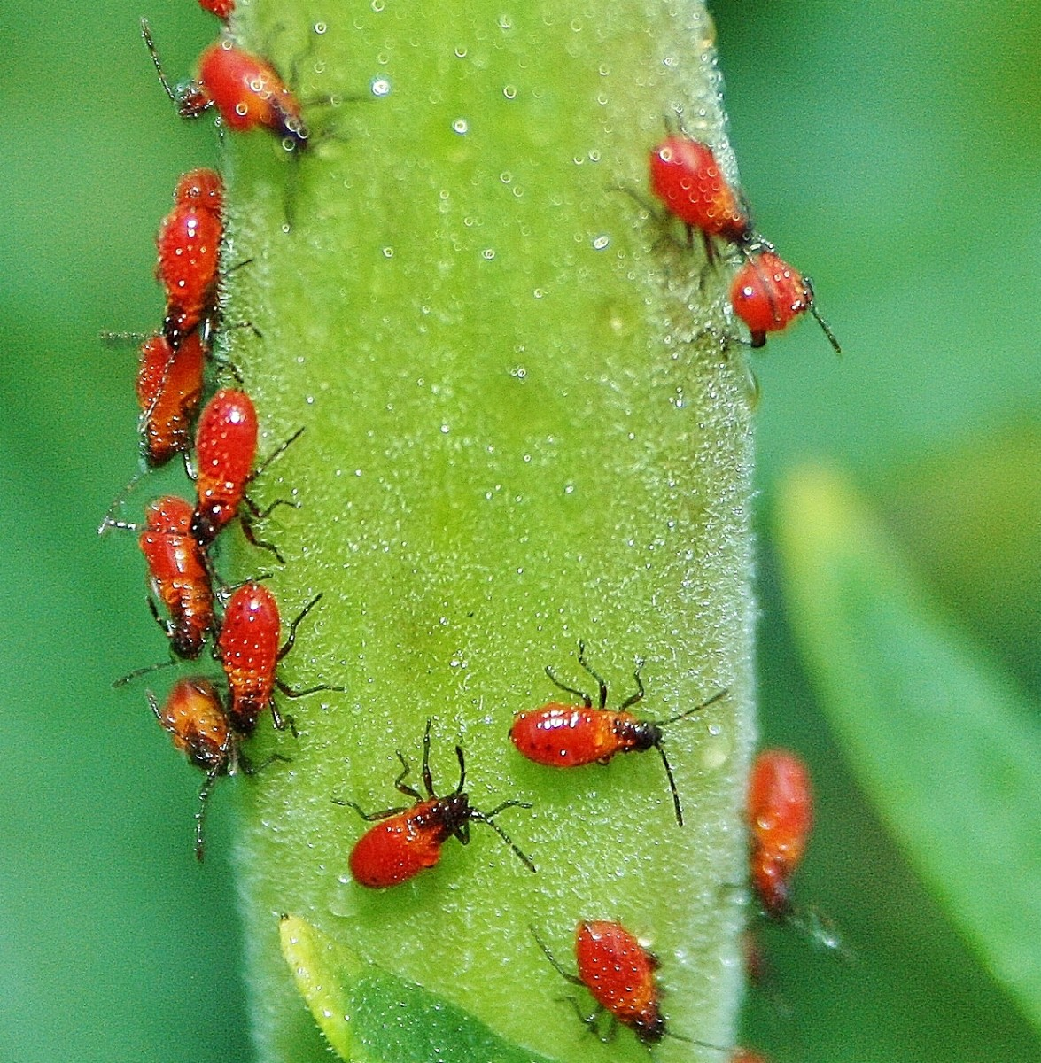 Adult aphids are small & pear-shaped pests with cornicles that extend from their abdomens. They are usually black, green, orange, red, white or yellow. Pictured: Adult butterfly weed aphids.