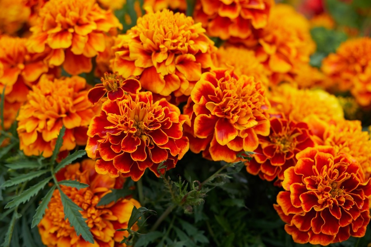 Marigolds, an annual flower which only lives for one growing season