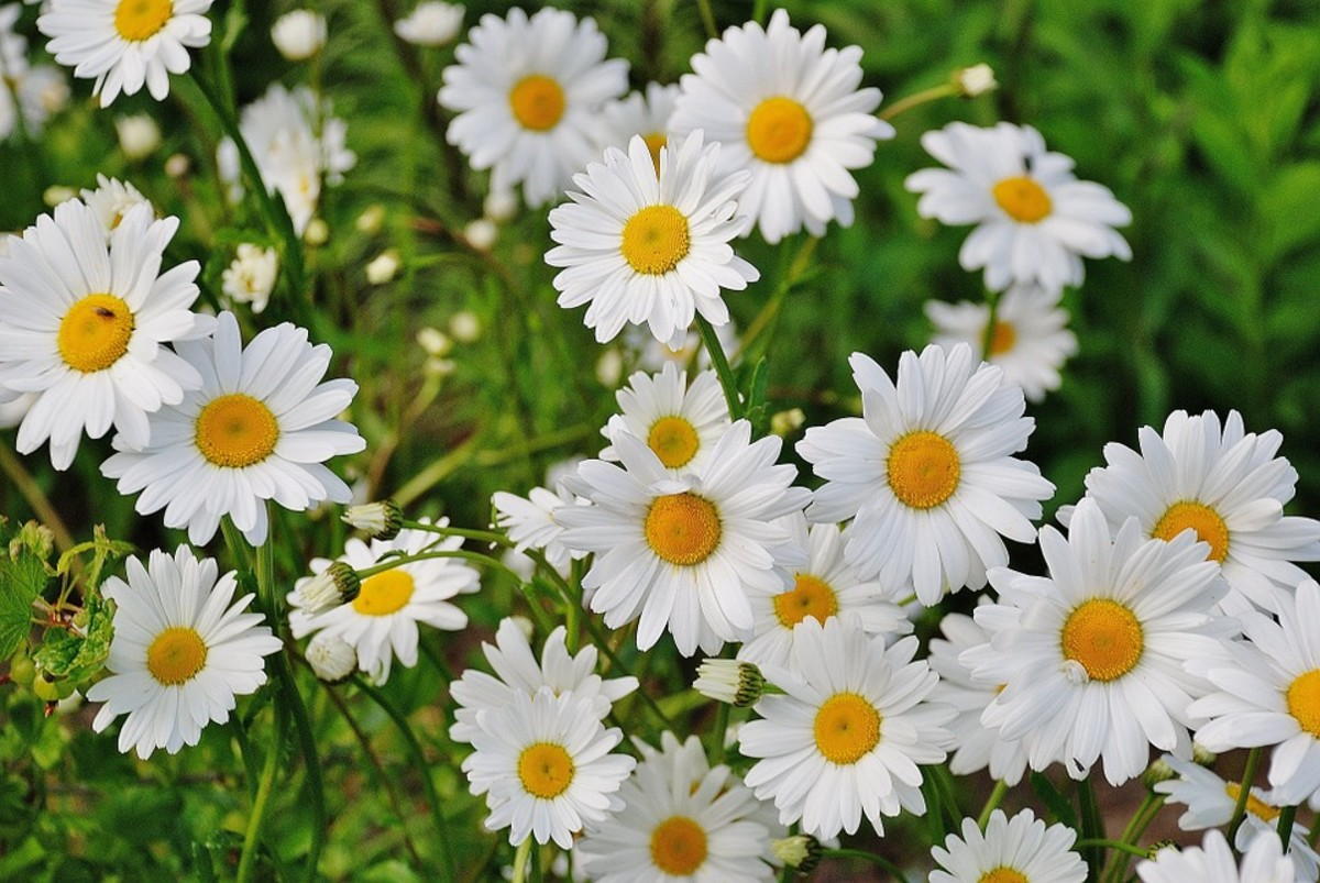 Shasta Daisies are perennial plants which live 5 to 9 years but only bloom for a few weeks each summer.