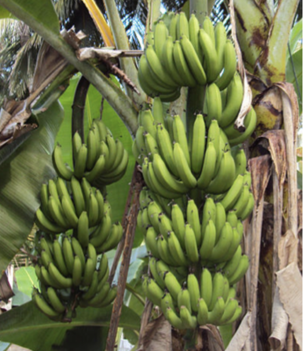 Plantains hanging from trees that are ready for harvest.