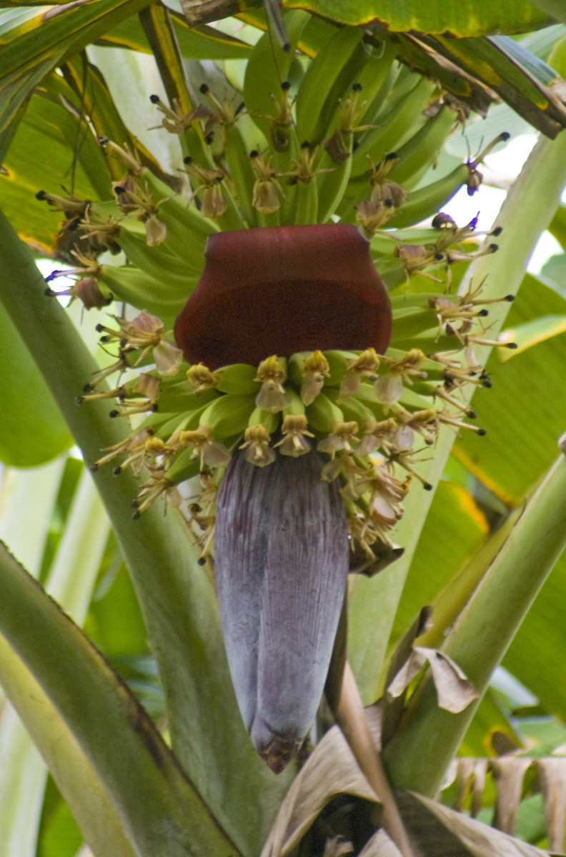 Plantain flowers and fruit.