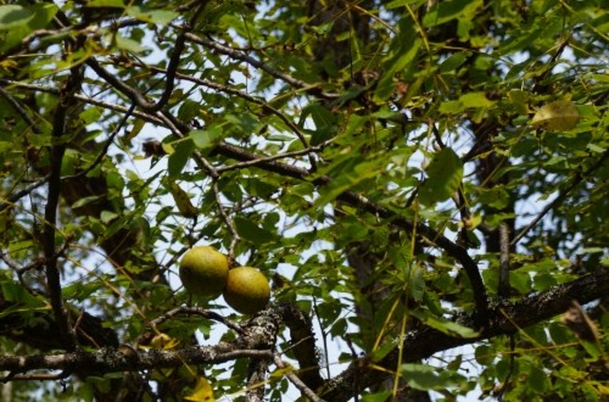 The green fruit of the black walnut.