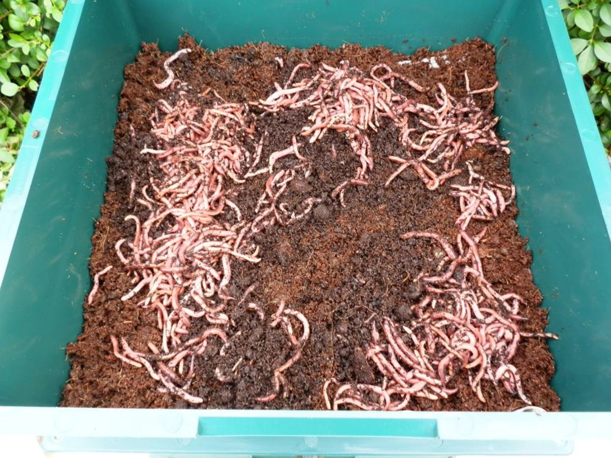 Composting worms are added to the first tray