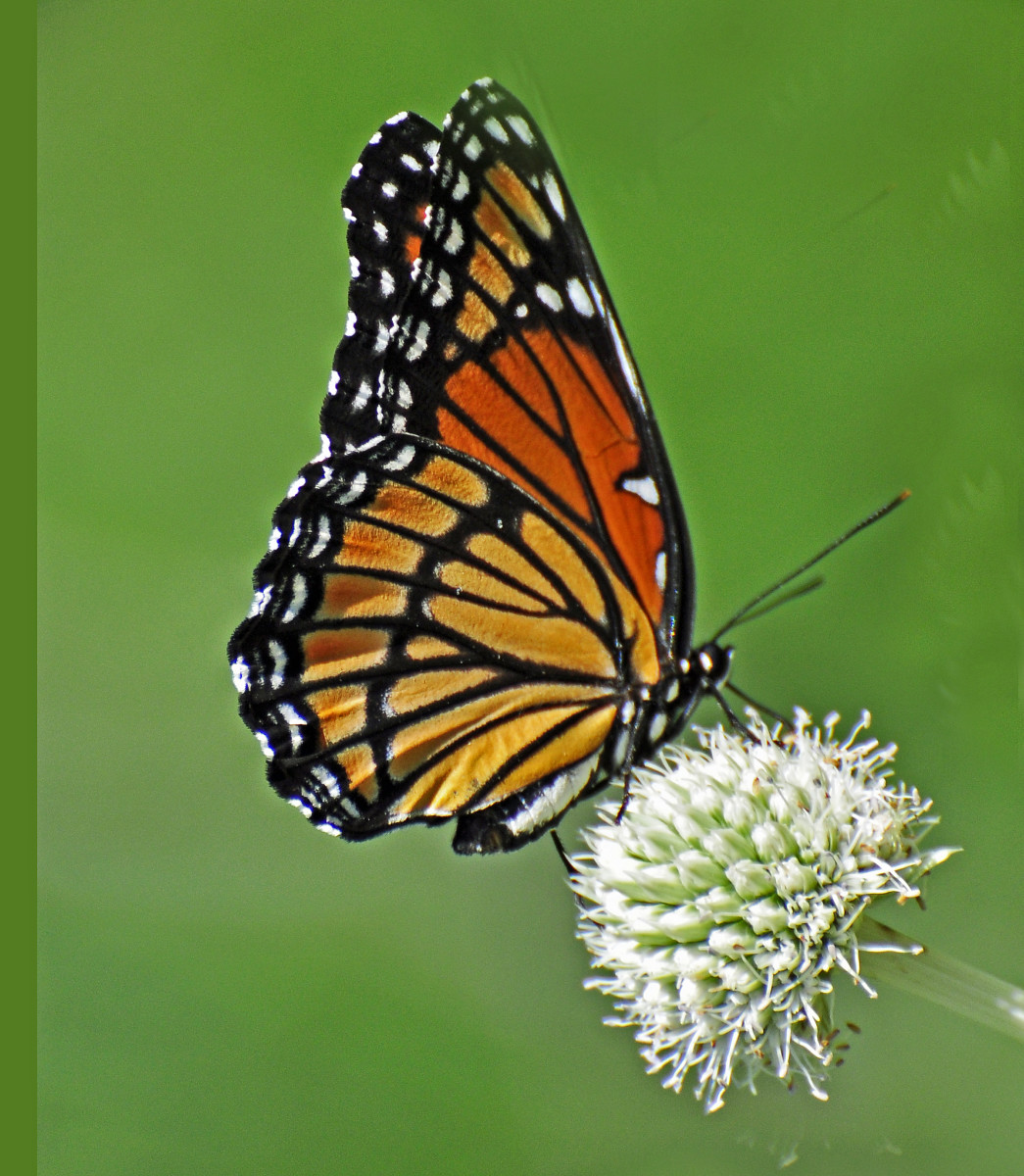 Viceroy butterfly.