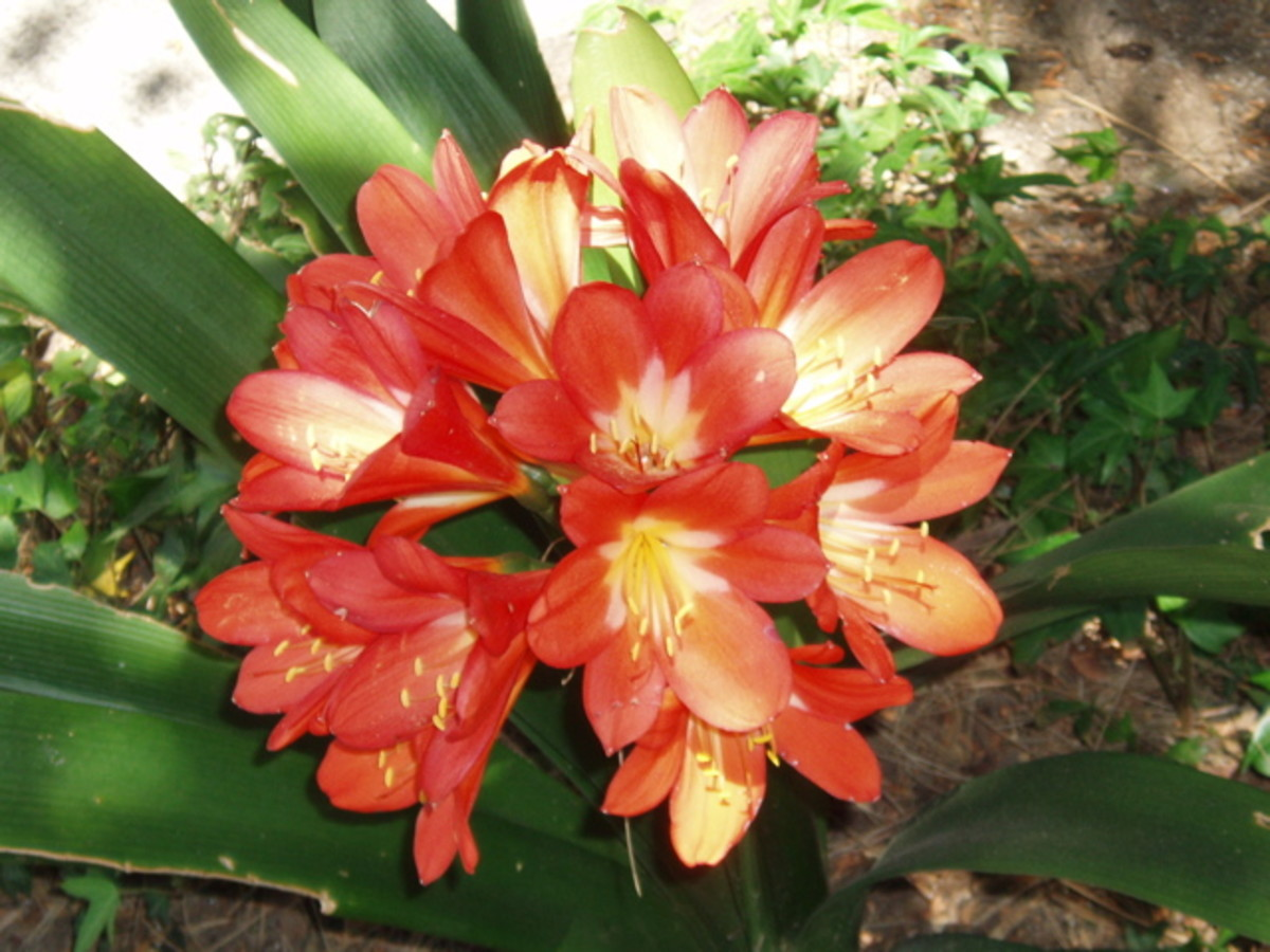 Bright flowers like this amaryllis can really liven up a room - but they need to be in bright light.