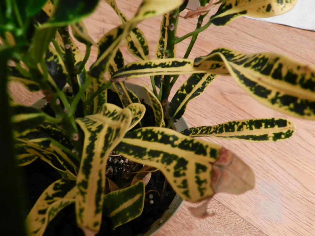 Green and yellow variegated croton