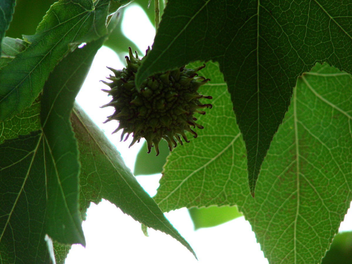 Sweet gum balls can be a major yard hazard, and they're not easy to clean up.