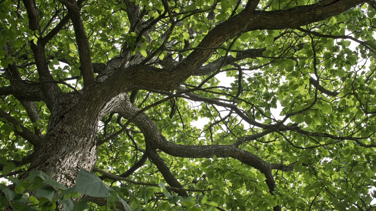 Catalpa trees are beautiful, but are they worth the work?