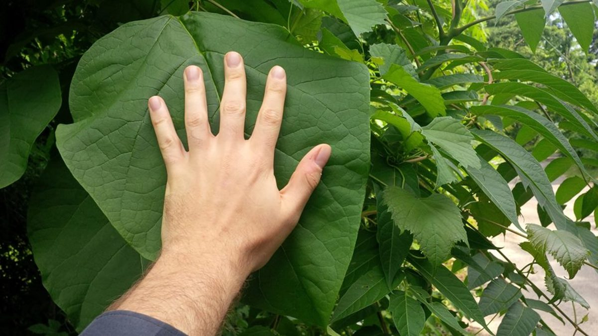 Seriously. Catalpa leaves are MASSIVE.