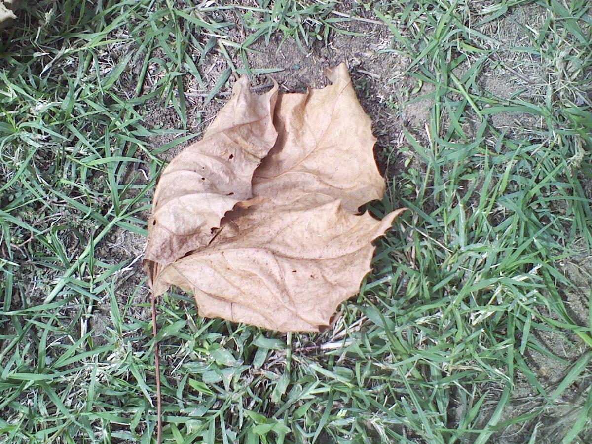 Dinner-plate sized catalpa leaf.