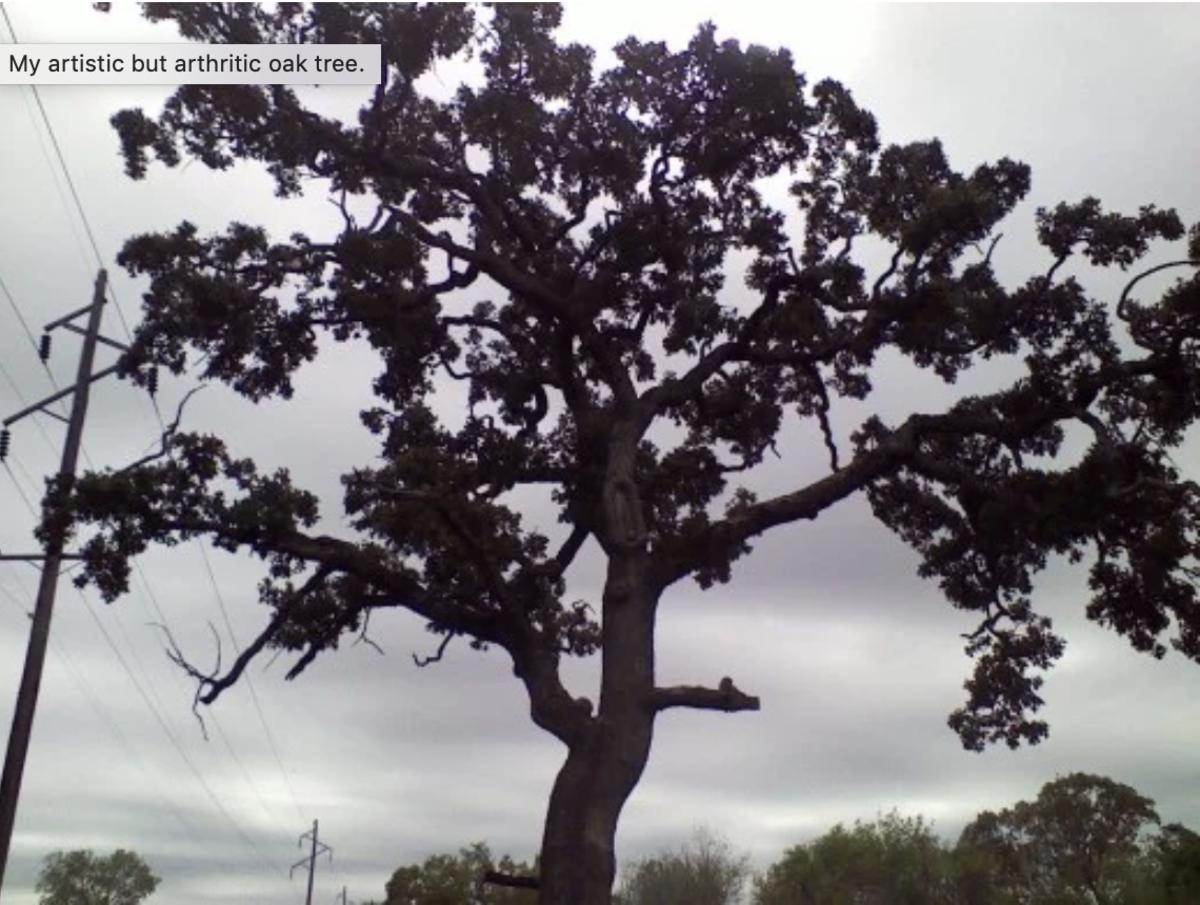 My artistic but arthritic oak tree.