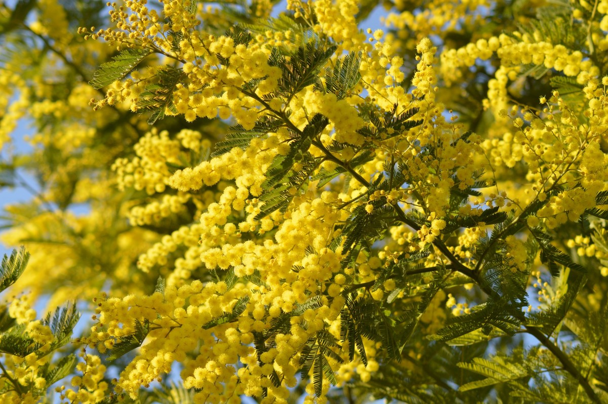 Mimosa trees are undoubtedly lovely, but the mess they make is not!