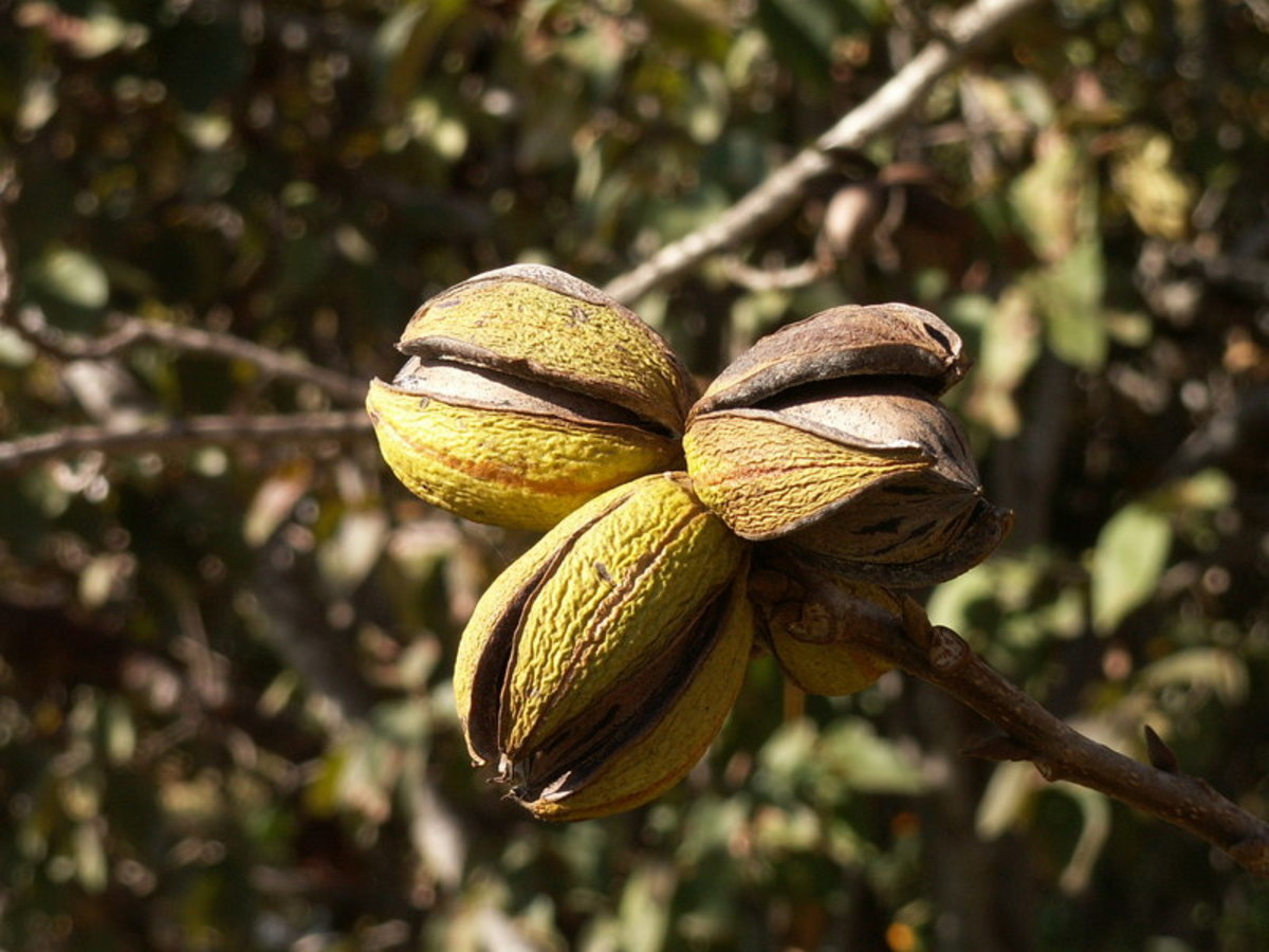 Pecan nuts come ensconced in armor-like shells, so they require a lot of work before you can enjoy them.