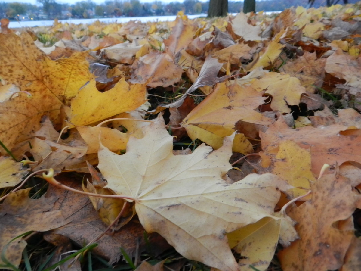 Cleaning up leaf litter reduces risk of maple tar spot.