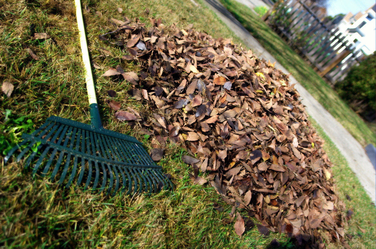 Clean up leaf litter to reduce maple tar spot infection