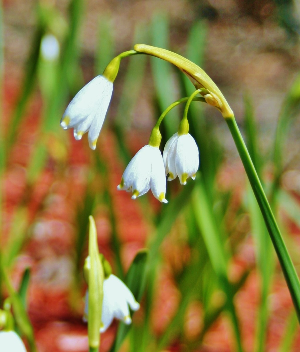 Spring snowflakes (Leucojum vernum) bloom in both winter & spring.