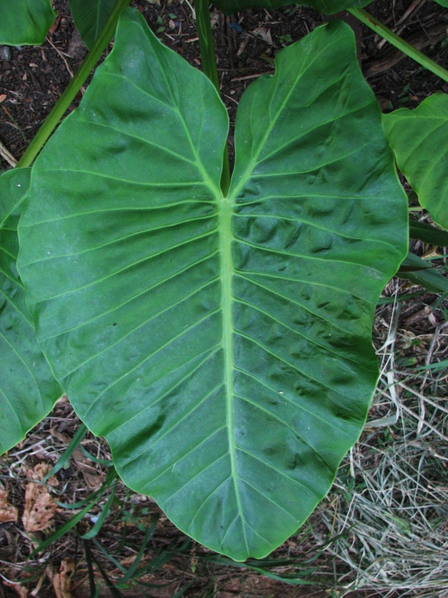 The impressive, large, elephant-ear shaped leaf of the Cunjevoi Lily.