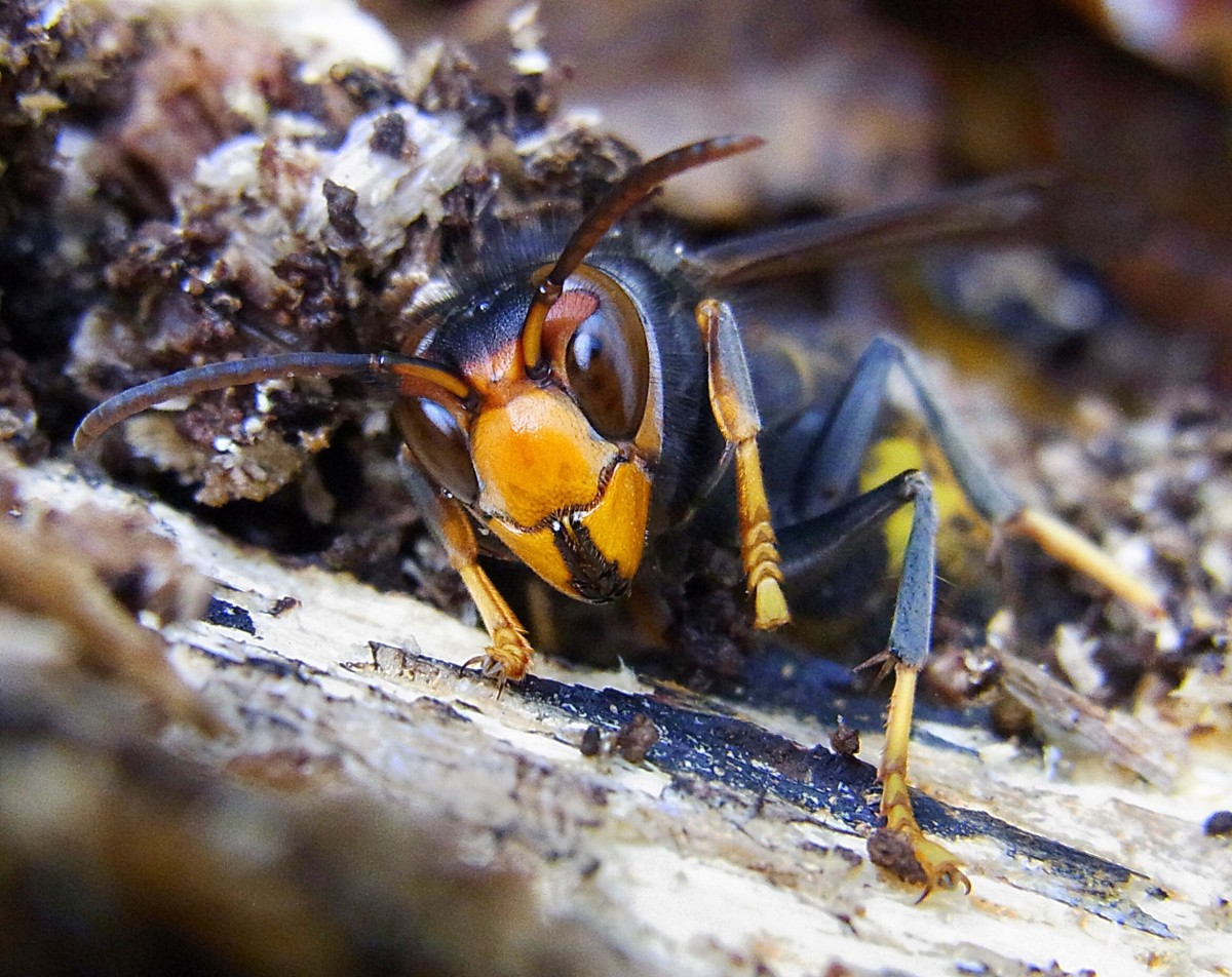 The face of an Asian hornet or predatory wasp that was observed hiding under bark in France