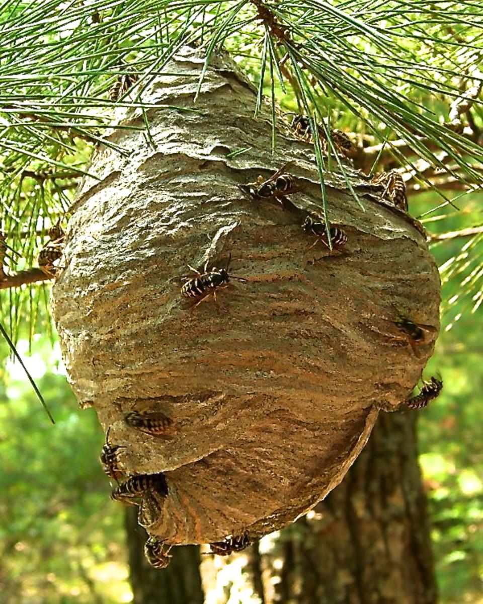 A hornet nest