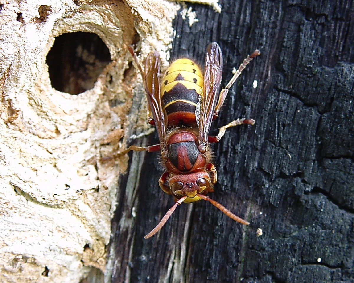 Another European hornet