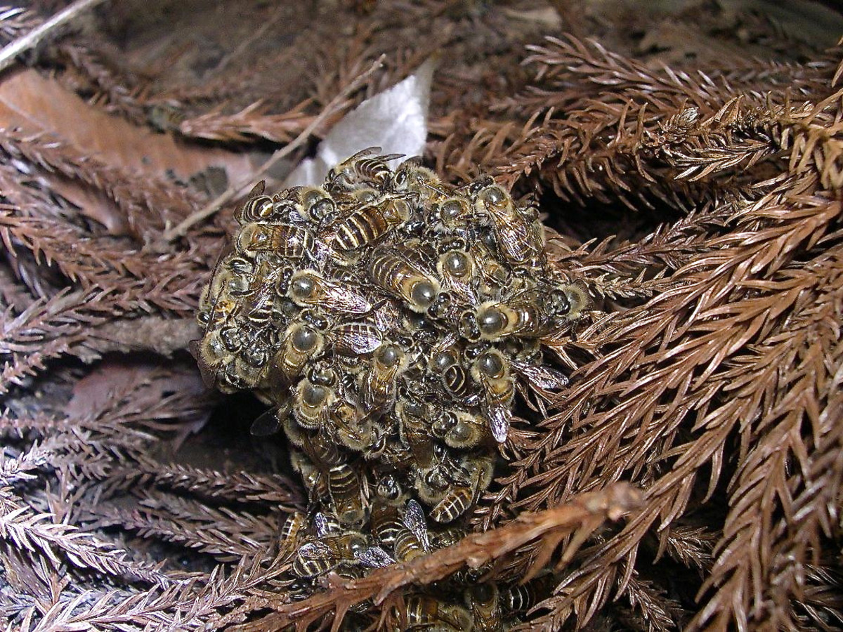 Japanese honeybees in a ball around two hornets: the ball heats and kills the hornets